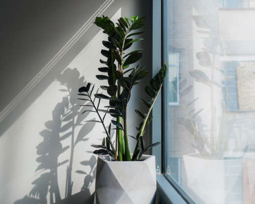 Best Low Light Indoor Plants ZZ Plant