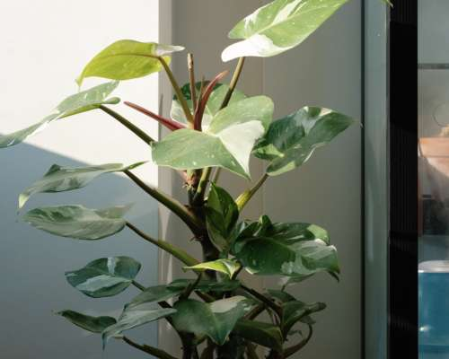 Philodendron White Princess Plant Care