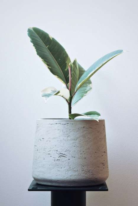 Variegated Rubber Plant